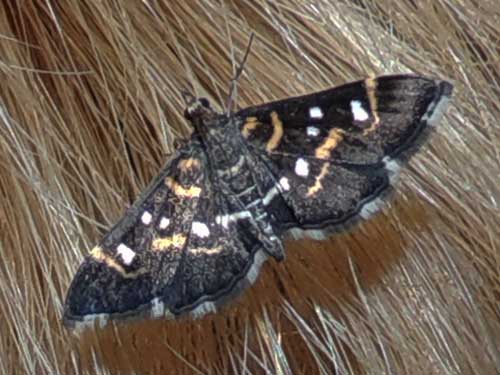 a Crambidae moth, Diathrausta, photo © by M. Plagens