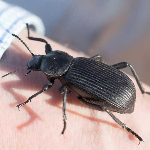 a large pinacate beetle, Tenebrionidae, Eleodes obscurus, photo © by Allan Ostling