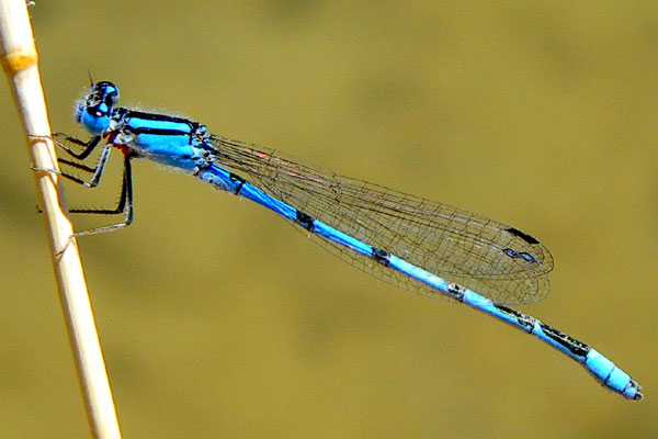 Familiar Bluet, Enallagma civile, photo © by Michael Plagens