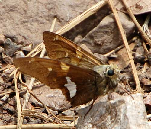 Silver-spotted Skipper, Epargyreus clarus, photo © by Mike Plagens