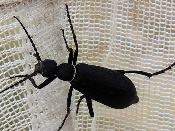 a black with white band blister beetle, Epicauta segmenta, photo © by Mike Plagens