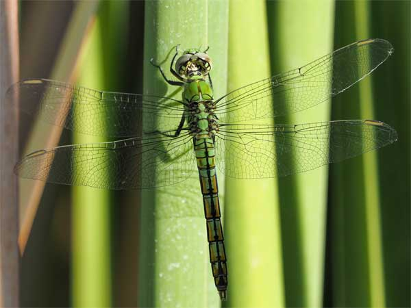 Western Pondhawk photo © by Allan Ostling