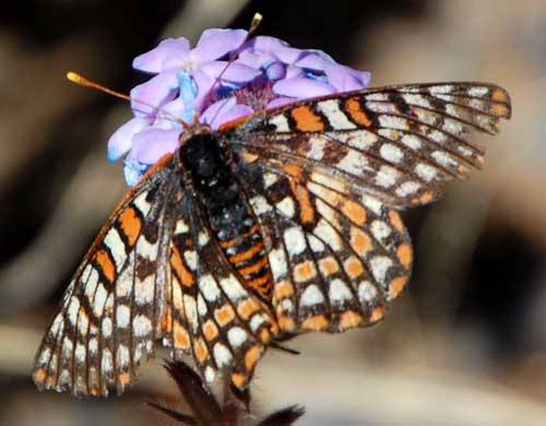 a variable checkerspot butterfly, Euphydryas chalcedona, from the Arizona Desert north of Carefree, photo © by Mike Plagens