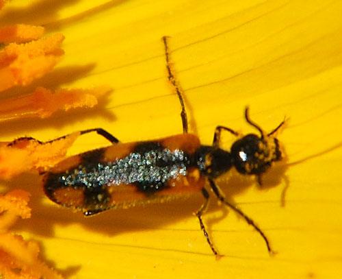 Elegant Blister Beetle, Eupompha elegans, photo by Michael Plagens