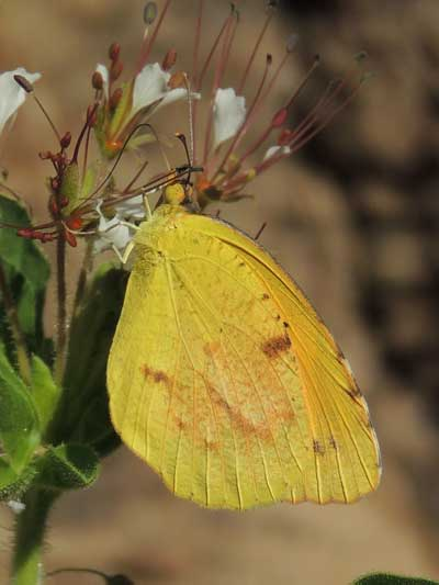 Eurema nicippe photo © by Mike Plagens