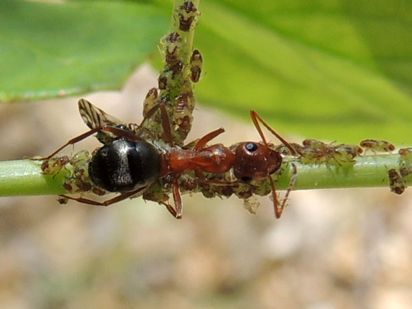 Wood Ant, Formica, possibly perpilosa, photo © by Mike P{lagens