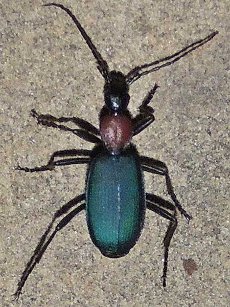 Carabidae:Galerita photo © by Mike Plagens