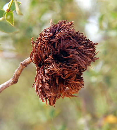 Insect gall caused by Asphondylia midge on Larrea tridentata photo © by Michael Plagens