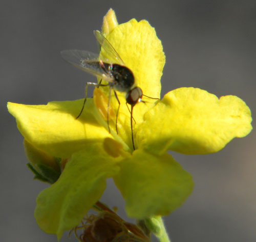 a bee fly, Geron sp.,  photo © by Mike Plagens