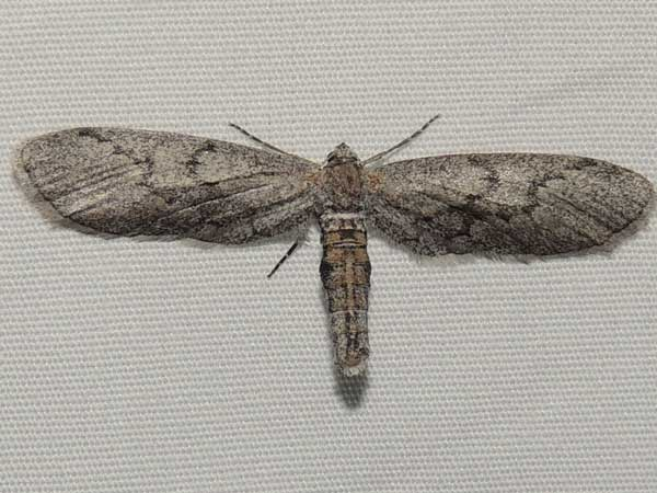 a small moth, Glaucina, from Aguila in the Sonoran Desert photo © by Mike Plagens