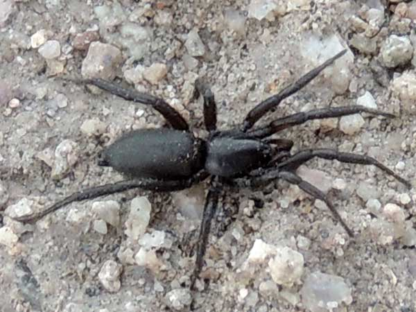a ground spider, Zelotes, Gnaphosidae, from Arizona, photo © by Mike Plagens