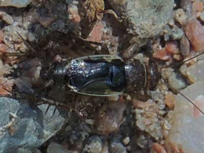 a ground cricket, Neonemobius, from southeast Yavapai Co., Arizona photo © by Mike Plagens