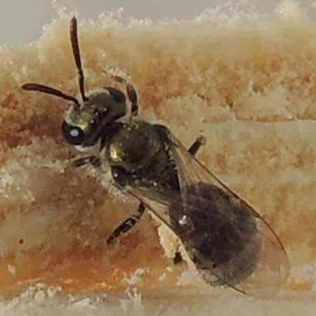 a Hactidae bee, possibly Lasioglossum, photo © by Mike Plagens