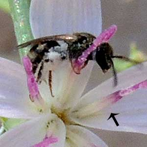Halictidae bee at Stephanomeria flowers.