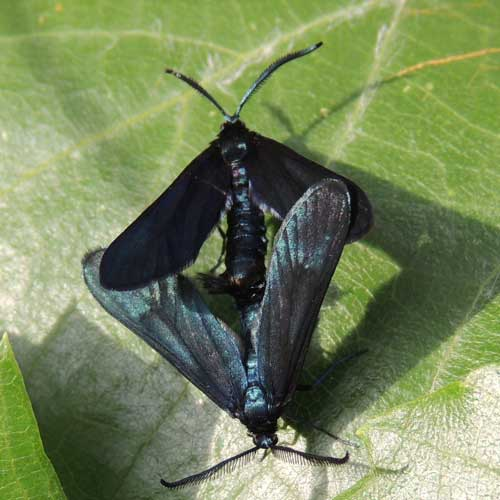 Western Grape-leaf Skeletonizer, Harrisina metallica, photo © by M. Plagens