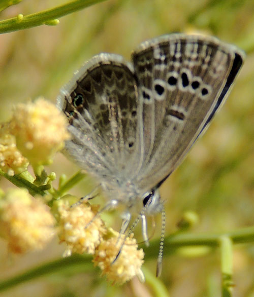 a Reakirt's Blue Butterfly, Hemiargus isola, from Bumblebee, Arizona, photo © by Mike Plagens