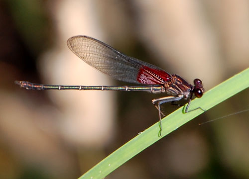 Rubyspot, Hetaerina, photo © by Michael Plagens