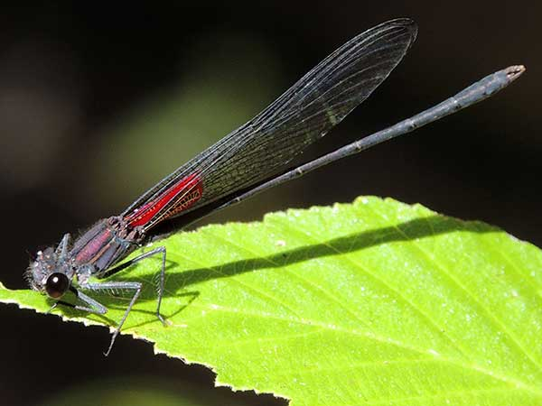 Canyon Rubyspot, Hetaerina vulnerata, photo © by Mike Plagens