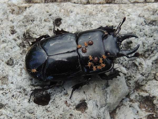 a hister beetle with mites, Hololepta, photo © by Mike Plagens