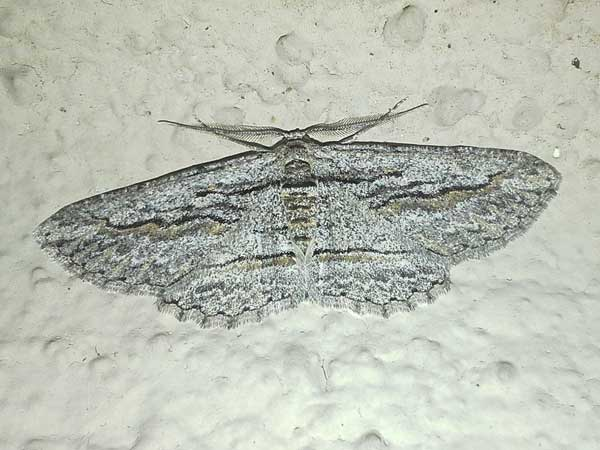 Oblique Looper Moth, a Geometridae, Iridopsis obliquaria,  in Sonoran Desert photo © by Mike Plagens