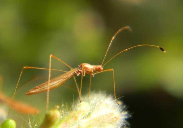 a stilt bug, Jalysus, on Gaura mollis, photo © by Mike Plagens