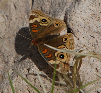 Buckeye Butterfly, Junonia coenia, photo © by Mike Plagens