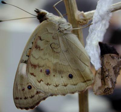 Reverse side of Buckeye Butterfly, Junonia coenia, photo © by Mike Plagens