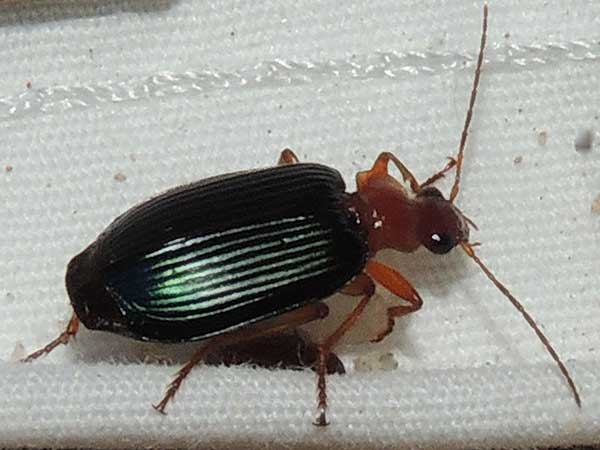Lebia, Carabidae, photo © by Mike Plagens