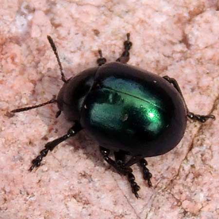 a jade green beetle, Leptinotarsa haldemani, photo © by Mike Plagens