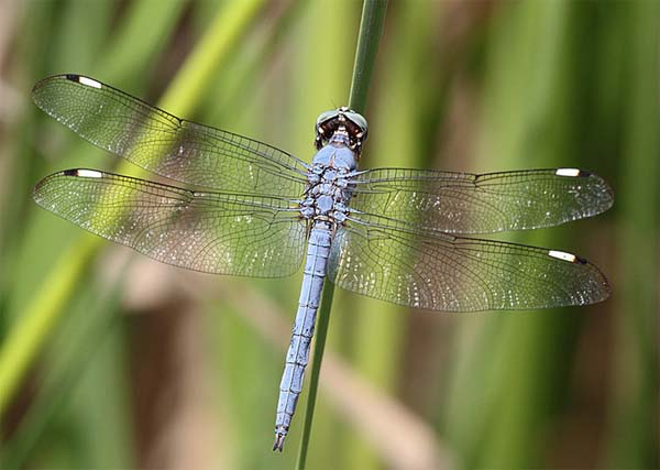 Comanche Skimmer, Libellula comanche, photo © by