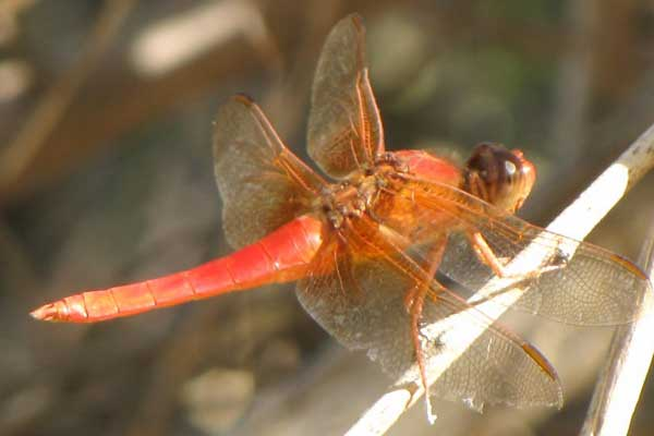 Neon Skimmer, Libellula croceipennis, photo © by Robert Witzman