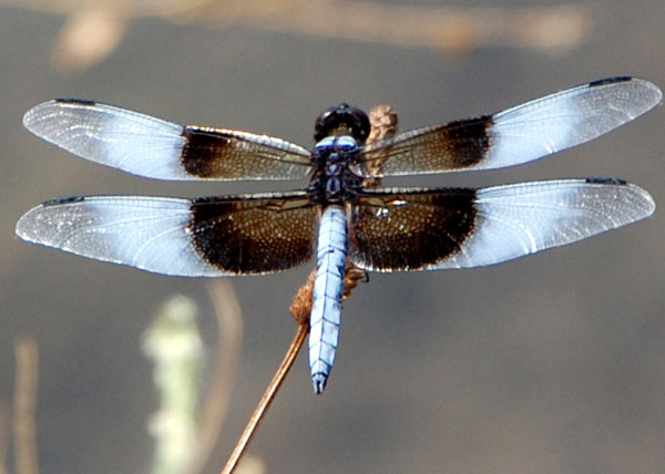 Widow Skimmer, Libellula luctuosa, photo © by Mike Plagens
