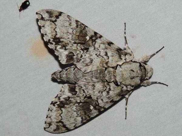 Florestan Sphinx, Manduca florestan, photo © by M. Plagens