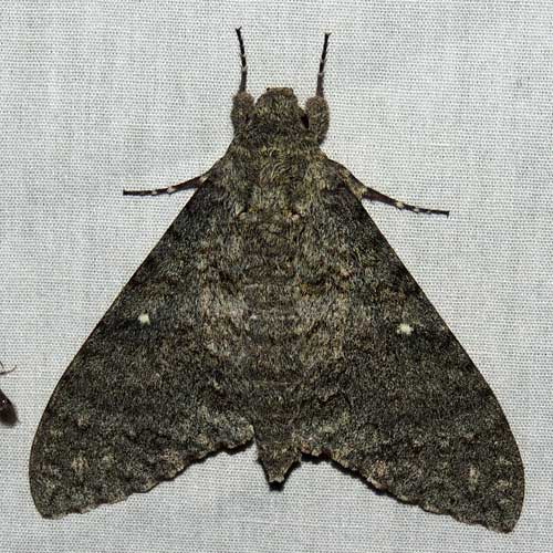 Mossy Sphinx, Manduca muscosa, photo © by M. Plagens