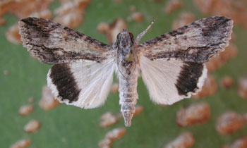 Adult moth with wings spread.  Photo © by Mike Plagens