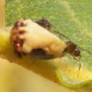 a Membracidae, Vandusia, © by Michael Plagens
