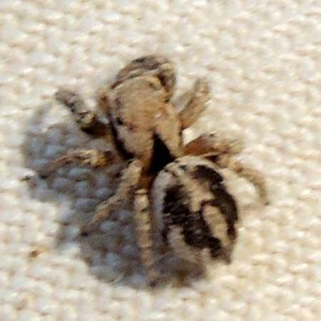 Metaphidippus chera spider photo © by Mike Plagens
