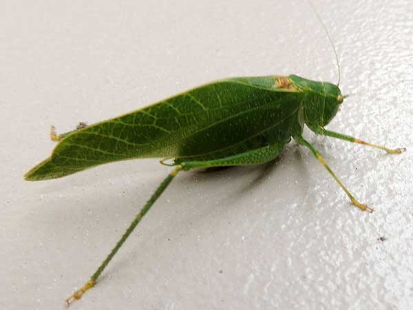 Tettigoniidae:Microcentrum photo © by Mike Plagens