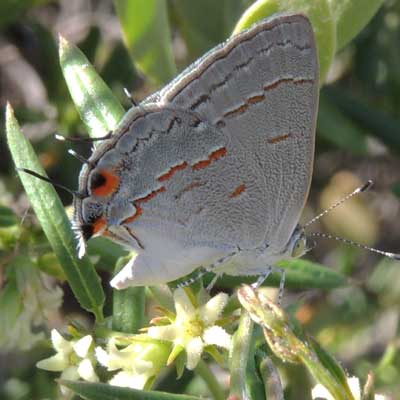 a Leda Hairstreak takes nectar of Cynanchum arizonicum photo © by Michael Plagens