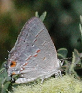 Leda Hairstreak, Ministrymon leda, photo © by Mike Plagens