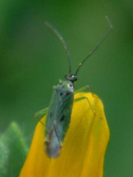 a green Miridae on Tithonia thurberi photo © by Mike Plagens