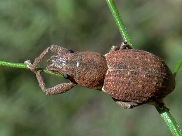 a weevil, Naupactus cervinus, photo © by Mike Plagens