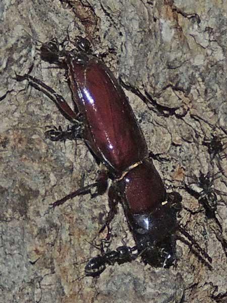 Cerambycidae:Neandra photo © by Mike Plagens