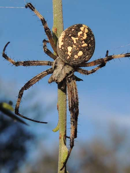 a Western Spotted Orb-weaver, Neoscona oaxacensis, © by Mike Plagens