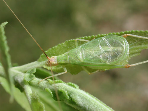Oecanthus, prob. texensis, tree cricket photo © by Mike Plagens