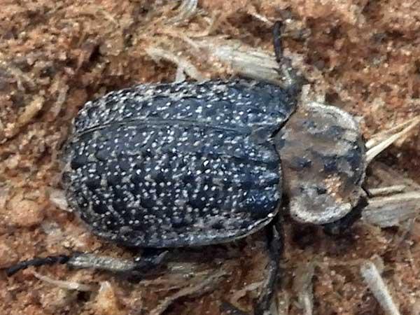 Hide Beetle, Omorgus, photo © by Mike Plagens