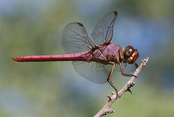 Roseate Skimmer, Orthemis ferruginea, photo © by Pete Moulton