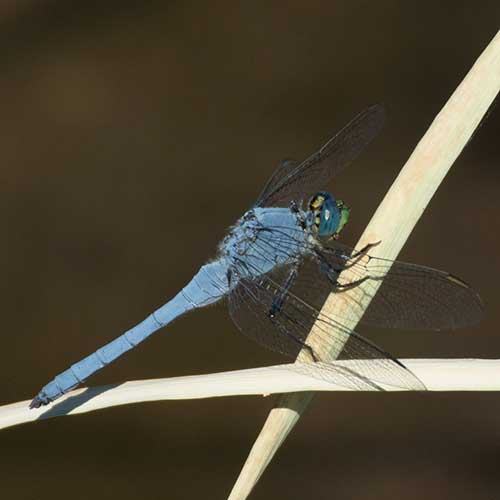 Blue Dasher dragonfly, Pachydiplax longipennis, photo © by Allan Ostling