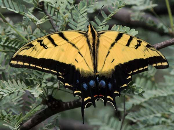 Two-tailed Swallowtail, Papilio multicaudata, photo © by Michael Plagens