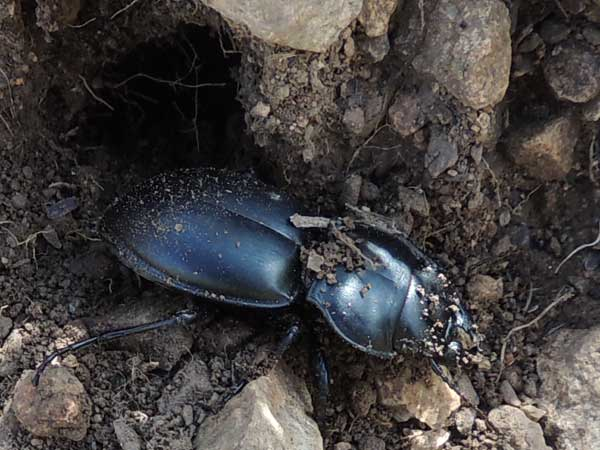 a Pasimachus Ground beetle, photo © by Mike Plagens